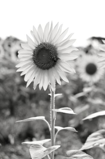 WPSunflower