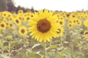 Sunflower field in NC