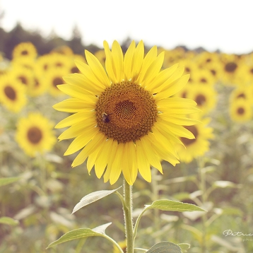 Sunflower field in NC